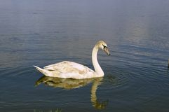Young swan Royalty Free Stock Photos