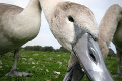 Young Swan or Cygnet Royalty Free Stock Photography