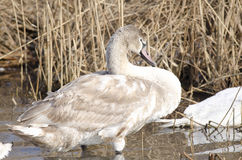 Young Swan (cygnus olor) Stock Photo