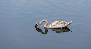 Young swan drinking water Stock Photography