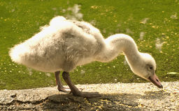 Young swan eating. With feathers floating around Royalty Free Stock Images