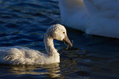 The young swan is eating algae Stock Photography