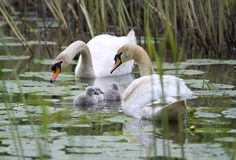 Young swan family. Young swan familiy with their two days old children. The birds swimming in a lake. Image taken in free nature Royalty Free Stock Images
