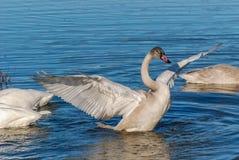 Young Swan Stock Photos