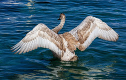 Young swan flapping wings Stock Image