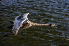 Young Swan in Flight. A young swan photographed side-on and close up shortly after taking off from a river Stock Image