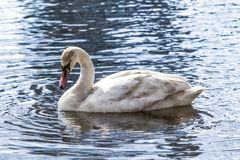 Young swan Stock Photos