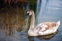 A young  swan on a walk Stock Photos
