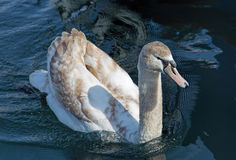 Young swan Royalty Free Stock Photography