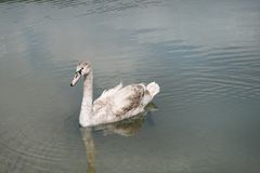 A young swan is a mute in the Abrau-Durso lake Stock Photo