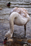 Young swan near a riverbank. Beautiful young swan looking for something to eat on a riverbank Royalty Free Stock Photos