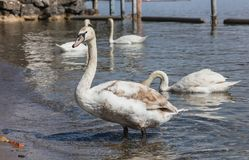 Free Young Swan On Lake Zurich In Switzerland Royalty Free Stock Image - 113857146