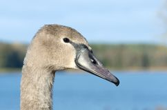 Young swan, portrait stock photo
