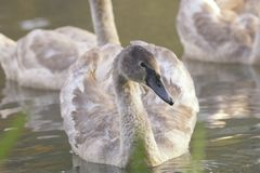 Young swan portrait Royalty Free Stock Photography