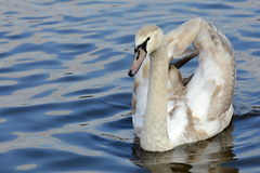 Young Swan, Prague, Czech Republic, Europe Royalty Free Stock Image
