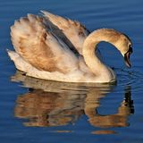 Young swan reflected in the water of Lake Balaton Stock Image