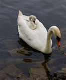 The young swan is riding on the back of her mother-swan Royalty Free Stock Photo