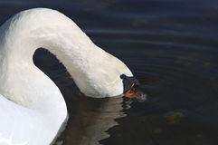 Young swan on the river with sunken head Stock Images