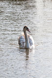 Young swan. Signet swimming in a sunlit lake Royalty Free Stock Photos