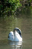 Young swan. Signet swimming in a sunlit lake Royalty Free Stock Photography