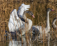 Young Swan stretch. A cygnet swan stretches it's wings, at Potter Marsh in Alaska Stock Image