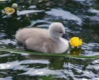Young swan. S with parents on the water Stock Images