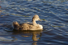 The young swan is swimming in the lake Royalty Free Stock Photo