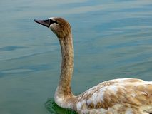 Young Swan swimming in the peaceful green river stock photo