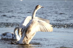 Young swan. Tries to fly stock images