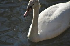 Young swan in water from close, grey water bird in detail with beak and black eyes at a lake in natural habitat stock photos