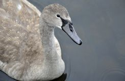 Young swan on water Stock Photos