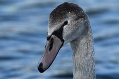 Young swan Stock Photo