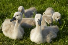 Young swans. Sitting young swans in the grass Stock Photo