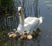 Young swans. With mother in the spring Royalty Free Stock Photography