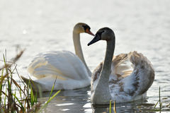 Young swans, autumn Royalty Free Stock Image
