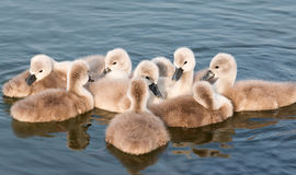 Young swans Stock Images