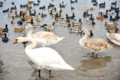 Young swans and different species of ducks on the beach. Birds on winter lake . Swans, ducks and seagulls Stock Photos