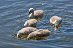 Young swans with dive Stock Photography