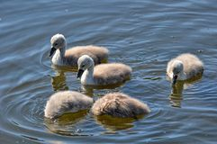 Young swans with dive Royalty Free Stock Images