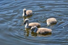 Young swans with dive Stock Photos