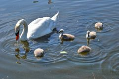 Young swans with dive Stock Images