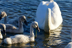The young swans are eating the algae Royalty Free Stock Images