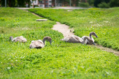 Young swans in the green grass Royalty Free Stock Photo