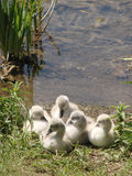 Young swans on a lake Royalty Free Stock Images