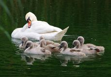 Young swans with mother Royalty Free Stock Images