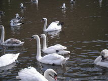 Young Swans and parents on lake Royalty Free Stock Photos