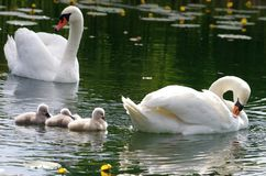 Young swans with parents Stock Images