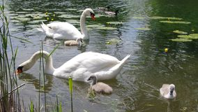 Young swans with parents Stock Photography