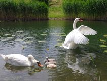 Young swans with parents Royalty Free Stock Photography
