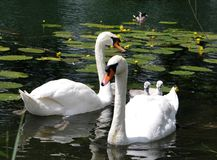 Young swans with parents. On the water Royalty Free Stock Photo